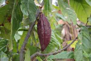 Cacao pod hanging on the Theobroma cacao tree in Indonesia.