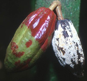 Frosty pod rot of cacao caused by M. roreri with whitish to creamy-colored spores on the pod surface. Image from Plant Health Progress article: The Impact of Plant Diseases on World Chocolate Production