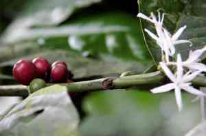 Coffee Berries and Flower. © Sarah Maria Schmidt